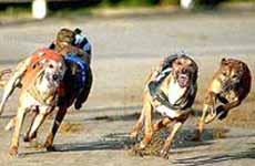 Track Greyhound